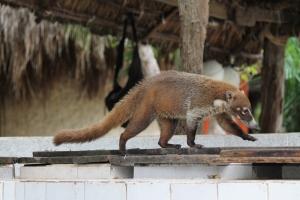 Akumal Lemur