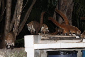 Akumal Lemurs Cocktail Hour