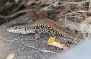 Lizard Cropped