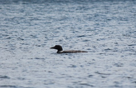 Lake Sunapee Loon