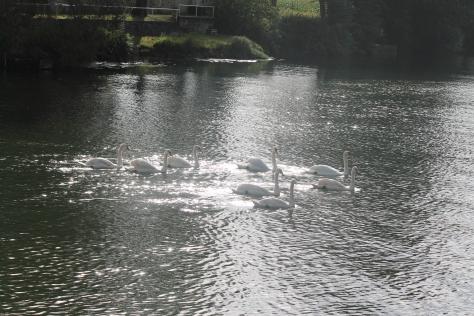 Shimmering Swans on La Charente