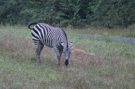 Vermont Zebra in Field, NOT a Zoo