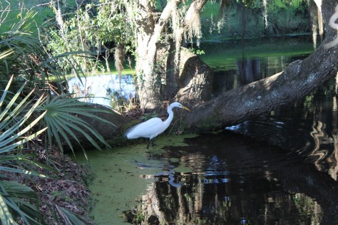 Great Egret at Middleton Place