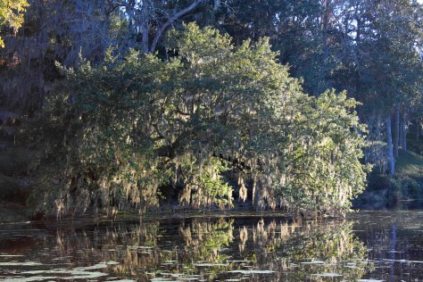 Live Oak over Pond Middleton Place Enhanced