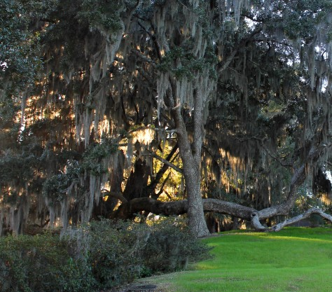 Live Oaks at Middleton Place