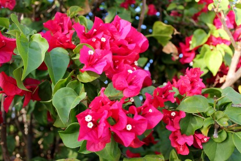 Florida Bougainvillea