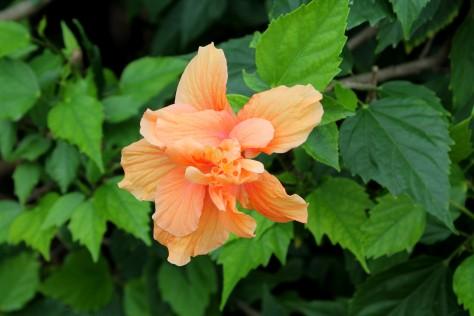 Hibiscus Peach