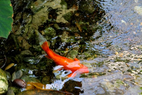 Koi at Butterfly and Nature Conservatory