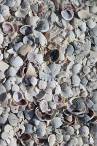 Shells on St. Pete Beach