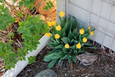 Glossi Yellow Tulips