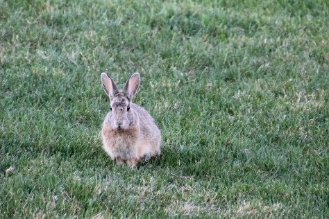 Neighbor Rabbit