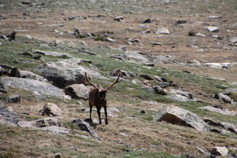 Elk Approaching