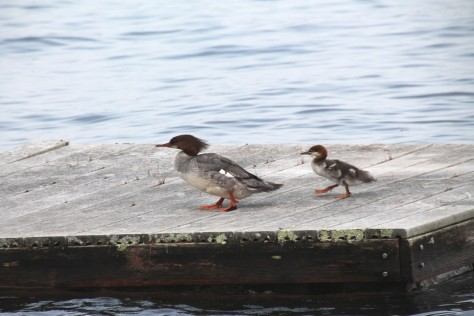 Mergansers on Parade