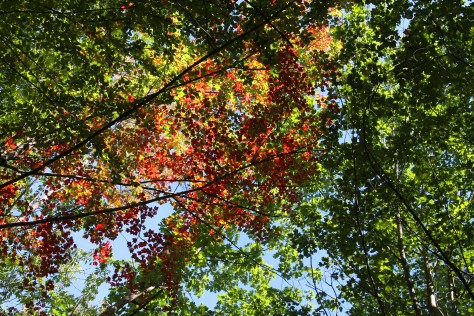 Fall Leaves Overhead