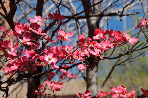 Pink Dogwood in Alexandria