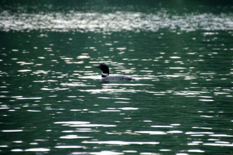Loon in the Green