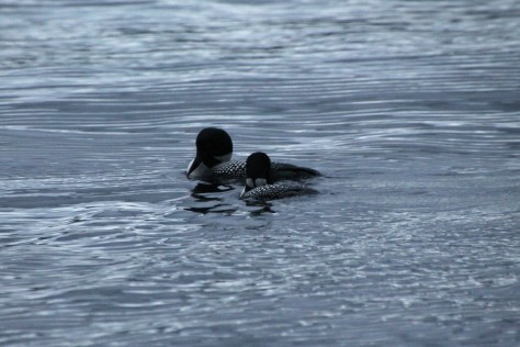Two loons right in Gardner Bay!
